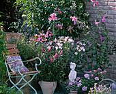 Rosa / weiße Terrasse: Anisodontea capensis,