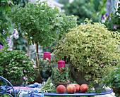 Duftpelargonium: Pelargonium graveolens 'Prinzess Ann'
