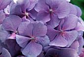 Hydrangea macrophylla 'Adria Blau'