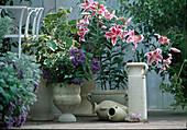 Duftpflanzen = Lilium 'Stargazer', Heliotropium arborescens
