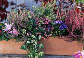Calluna vulgaris 'Aphrodite', Hedera / Efeu, Pernettya / Torfmyrthe,