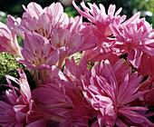 Colchicum 'Autumn Queen', ' Waterlily'