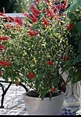 Salvia rutilans, Ananassalbei