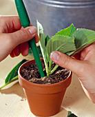 Stecklingsvermehrung von Hydrangea / Hortensien