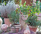 Helichrysum / Currykraut, Rosmarinus, Calamintha nepetoides,