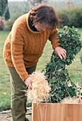 Winterschutz für Lavatera olbia-rosea: 1. Step: Für den Ballenschutz Holzwolle i