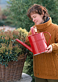 Winterschutz für Pieris japonica 4.Step: Pflanze angießen