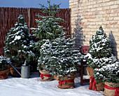 Pinus / Kiefer, Picea / Fichte, Abies / Tanne, Picea pungens