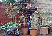Kübelpflanzen im Herbst für die Überwinterung zurückschneiden