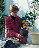 Citrus im Frühjahr umtopfen