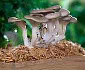 Austernpilze auf Stroh