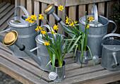 Narcissus 'Tete a Tete', in Zinkgießkanne