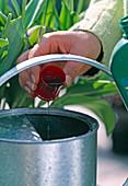 Für die Weiterkultur müssen Tulpen nach der Blüte gedüngt