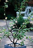 Prunus triloba / Mandelbäumchen