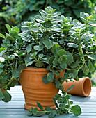 Coleus canin - Verpiss-Dich-Pflanze - Buntnessel