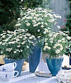 Argyranthemum frutescens (Margerite)