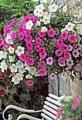 Hanging basket mit Petunia conchita 'Grande White', 'Grande