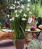 Acidanthera bicolor 'Weiß'