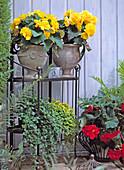 Begonia tuberhybrida 'Non-Stop Gelb', 'Non-Stop Scharlach',