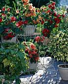 Abutilon-Hybr. 'Bella Red', 'Bella Salmon', 'Bella Apricot',