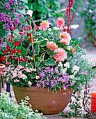 Argyranthemum, Nicotiana, Plectranthus, Dahlia