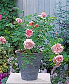 Englische Rose 'Abraham Darby', Duftrose, Beetrose öfterblühend