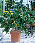 Nektarine (Prunus persica)