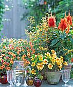 Petunia 'Million Bells Terracotta', Tropaeolum 'Ladybird'