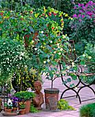 Erigeron / Weißes Gänseblümchen, Viola / Stiefmütterchen,