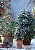 Ilex aquifolium 'J. C. van Tol' / Stechpalme, Picea conica