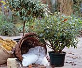 Rhododendron für den Winter schützen, Ballen in mit Stroh gefüllte Körbe stellen