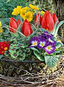 Eisenkorb bepflanzt mit Primula / Primeln, Oxalis / Sauerklee,