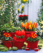 Tulipa 'Red Paradise' + 'Flair', Salix caprea 'Pendula',