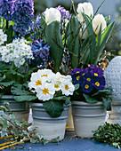 Primula acaulis / Kissenprimel, Primula obconica, Tulipa / Tulpen