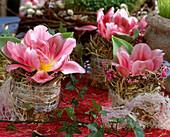 Tulipa 'Angelique'/ Tulpenblüten in Gläsern mit Heumanchette,