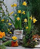 Narcissus , Primula / Kissenprimel, Topf aus Moos