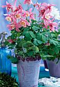 Aquilegia -Hybr. 'Spring Magic' rosa-weiß