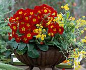 Eisenschale mit Primula elatior 'Crescendo Leuchtrot', Alyssum