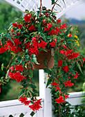 Begonia x tuberhybrida pendula