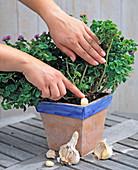 Natürlichen Pflanzenschutz gegen Läuse
