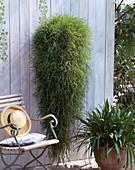 Agrostis stolonifera (Hängebambus) 'Green Twist'