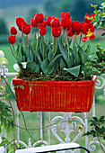Tulipa-Hybr. 'Arma'