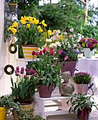 Etagere mit Tulipa-Hybr. 'Kareol' (gelb), 'Kardinal Mindszenty'
