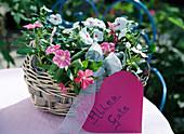 Catharanthus syn. Vinca rosea / Catharante mit rosa und