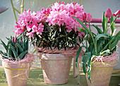 Rhododendron ponticum 'Graziella', Tulipa 'Blue Aimable',