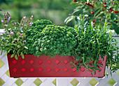Salvia officinalis / Salbei, Ocimum basilikum 'Balkonstar' (kleinblättrig)