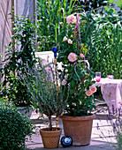 Lavandula / Lavendel, Kletterrose 'Kir Royal', ADR-Rose