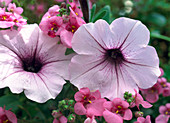 Petunia grandiflora 'Flash Veined' Formula Mix;