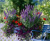 Torenia fournieri 'Summer Ware Large Blue', Salvia farinacea 'Midi' - Pelargoniu