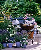 Lavandula angustifolia 'Siesta' + 'Hidcote Blue', lavender in pot